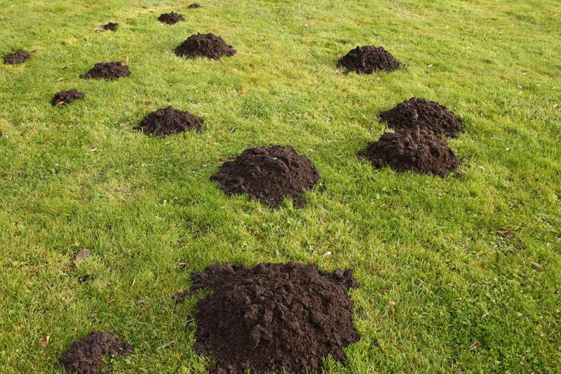 Taupes dans votre jardin: Taupier professionnel